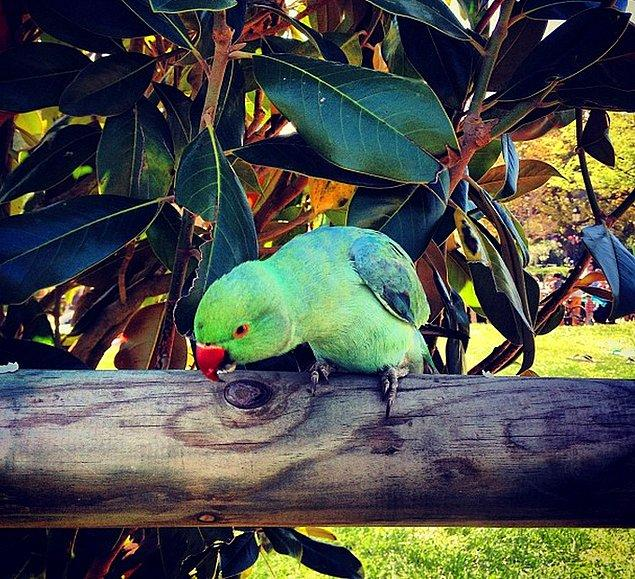16. Dünya tatlısı keşiş papağanlarına şehrin hemen her yerinde rastlayabilirsiniz.