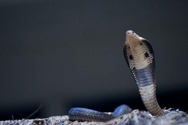 İngilizler ne yapsalar da bir türlü bu yılanlardan kurtulamazlar ve bunun üzerine İngiliz Hükümetinin aklına dahiyane olduğunu düşündükleri bir fikir gelir.