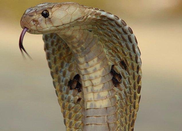 Hintliler kendi yılanlarını beslemeye, kısacası yılan üretimine başlamışlar. Artık kimse sokaklardaki yılanları yakalamakla uğraşmıyor, çiftliklerde besledikleri yılanları İngilizlere satıyormuş.