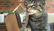 Öfkeli Peygamber Devesi ve Meraklı Kedi Arasındaki Boks Gösterisi