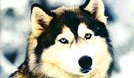 mavi gözlü kurtlar