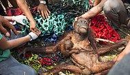 Tek Sığınağı Annesinin Kucağında Orman Yangınından Sağ Kurtulan Orangutan Yavrusu