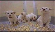 Kalbinizi Eritecek Güzellikteki 8 Haftalık Beyaz Aslan Yavruları