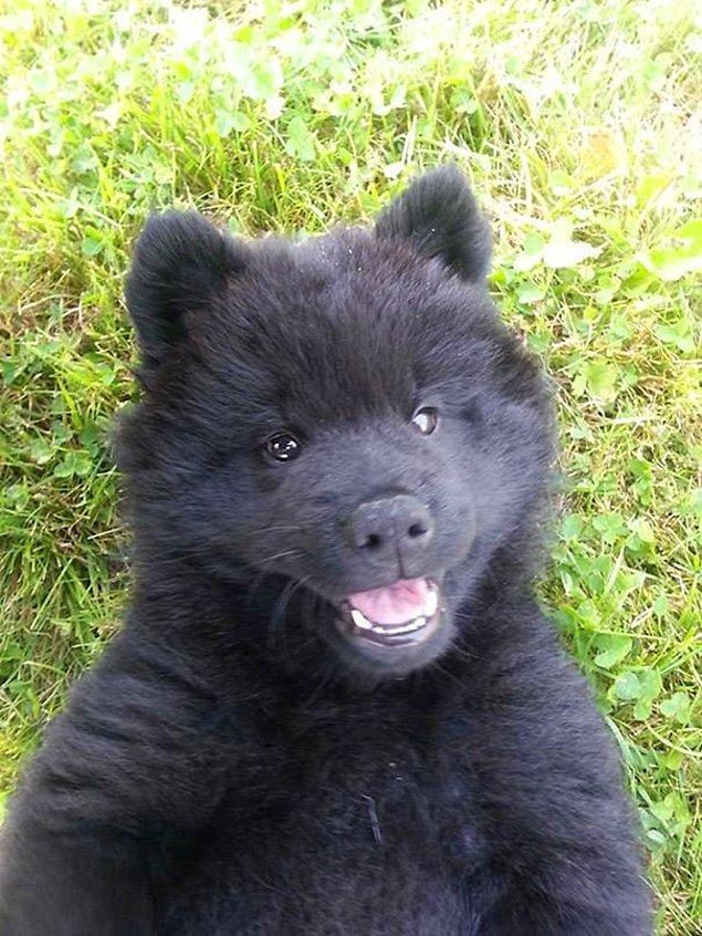 Евразиер, которому всего 10 недель, выглядит, как плюшевый медведь.