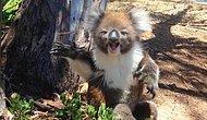 Arkadaşı Tarafından Ağaçtan Kovulduktan Sonra Ağlayan Duygusal Koala