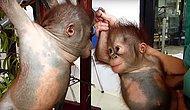 Bebek Orangutanlar Hayatlarında İlk Kez Birbirleriyle Karşılaşılıyor