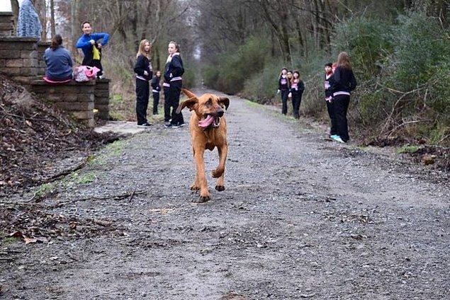 2 buçuk yaşındaki bloodhound cinsi bu minnoş koşan insanları görünce kayıtsız kalamadı ve Alabama'da düzenlenen Elkmont Yarı Maratonu'na katıldı.
