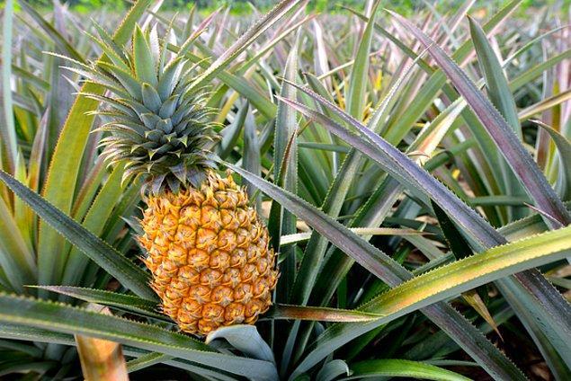 Modern Ananas