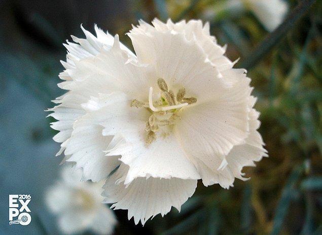 10. Kolima nehri kıyılarında bulunan bir sincap yuvasından 31 bin yıllık beyaz yapraklı karanfil tohumu çıkmıştır.