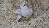 Avustralya'da nadir görülen bir tür olan albino kaplumbağası bulundu.