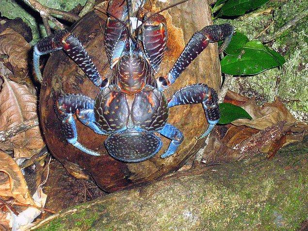 Latince adı Birgus latro olan bu tür sadece tropikal adalarda yaşamlarını sürdürüyor.