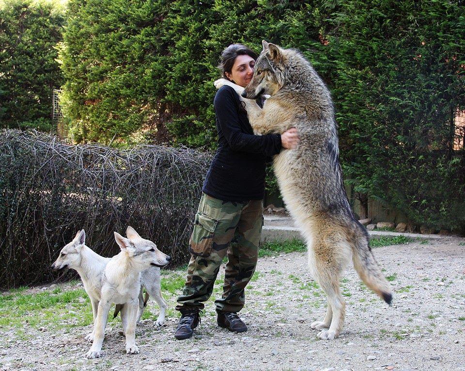 Mixers Mixers Vicking Vs Wolf ~ Doğanın kurallarını koyan bir yırtıcı kurtlar hakkında