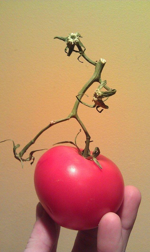 16. Kafası kesilmiş bir insan gibi yetişen domates sapı