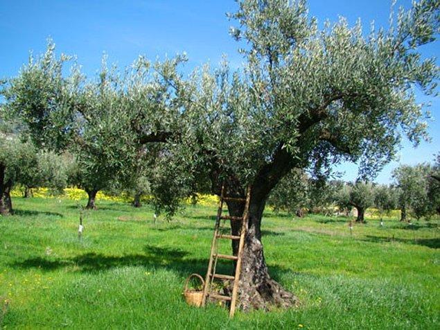 1. Zeytin ağacının Latince adı: Olea europaea ve Oleaceae denilen botanik aileden geliyor.