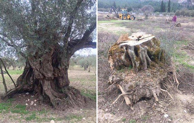 """""""Bin yaşında anıt ağaçlar da kesildi"""""""