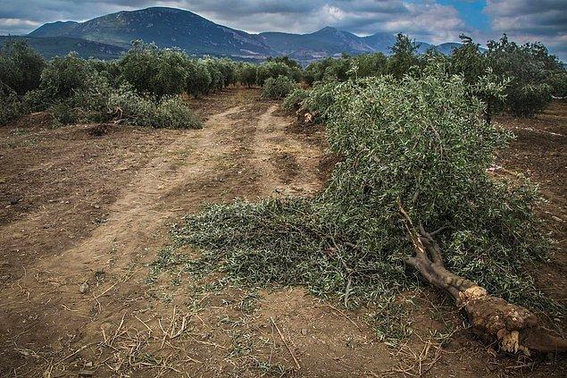 Yırca'da binlerce zeytin ağacı kesilmişti