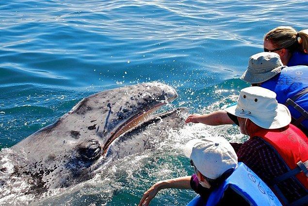 33. Meksika'daki balinaları gıdıklayın.
