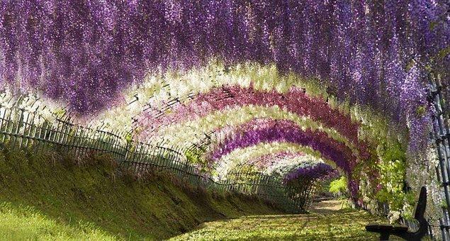 39. Japonya'da mor salkım çiçeklerinin oluşturduğu tünellerden geçin.