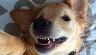 Diş Teli Takarak Tatlışlığına Tatlışlık Katan Köpeğin Bu Haline Bayılacaksınız!