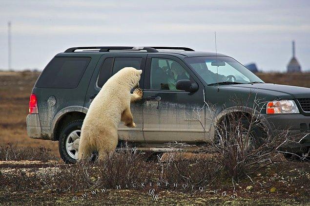 Kanada'nın Churchill şehrinde araç sahipleri, kutup ayılarından kaçan insanların sığınabilmesi için araçlarının kapılarını açık bırakırlar.