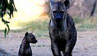 15 Maddeyle Devrimci ve Ana Erkil Yaşamlarıyla Hayran Olunası Hayvanlar : Asıl Sırtlanlar