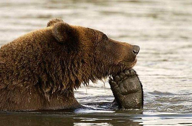 Быть медведем нелегко!