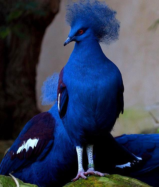 4. Taçlı Mavi Güvercin