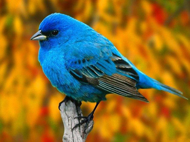 11. Dağ Mavi Kuşu