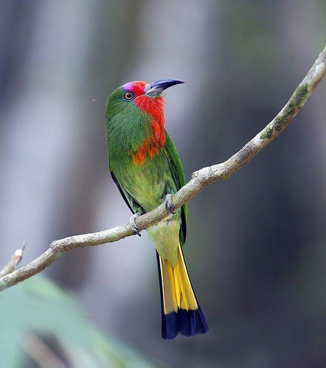 12. Kızıl Sakallı Arı Kuşu