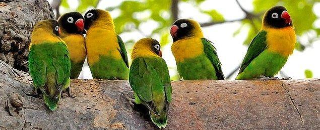 20. Sarı Yakalı Aşk Kuşu