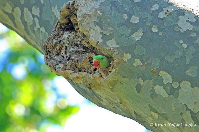 3. Mesela yeşil tüyleri sayesinde ağaçlarda kolayca kamufle olabiliyorlar ve onları görmekte zorlanıyorsunuz...