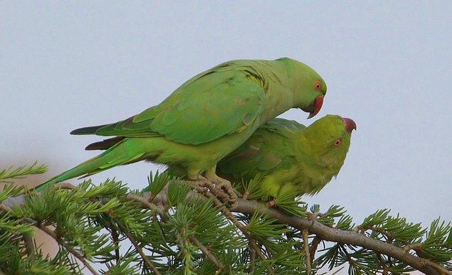 "2. İstanbul'da doğal ortamda yaşayan bu papağana ""Yeşil Papağan"" deniyor..."