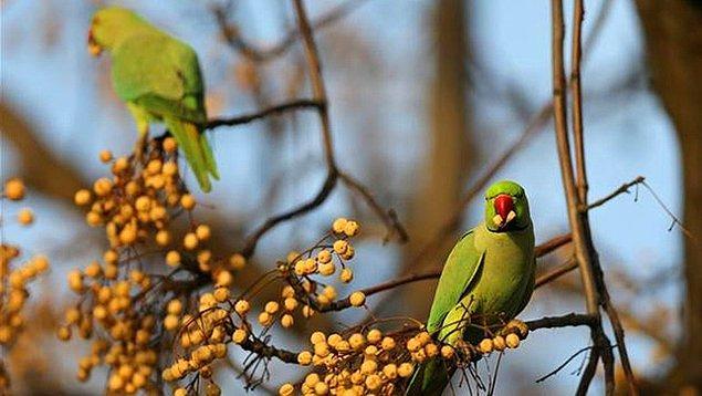 4. Yemyeşil tüyleri olan bu harika kuşlar kafalarını her kaldırdıklarında artık İstanbul halkını şaşırtmıyorlar...