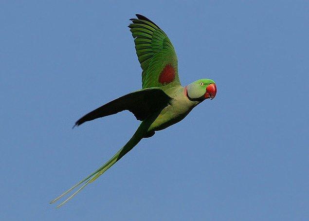 5. Türkiye iklimiyle uyumlu olan bu papağanlar; Pakistan, Afganistan ve Hindistan gibi Asya ülkelerinde de bulunuyor.