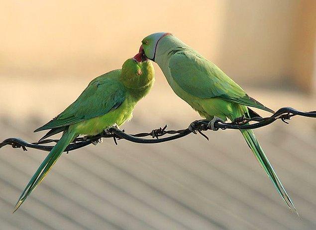 11. Yemyeşil renkleri ve kırmızı gagalarıyla bu papağanları fark edebilirsiniz...