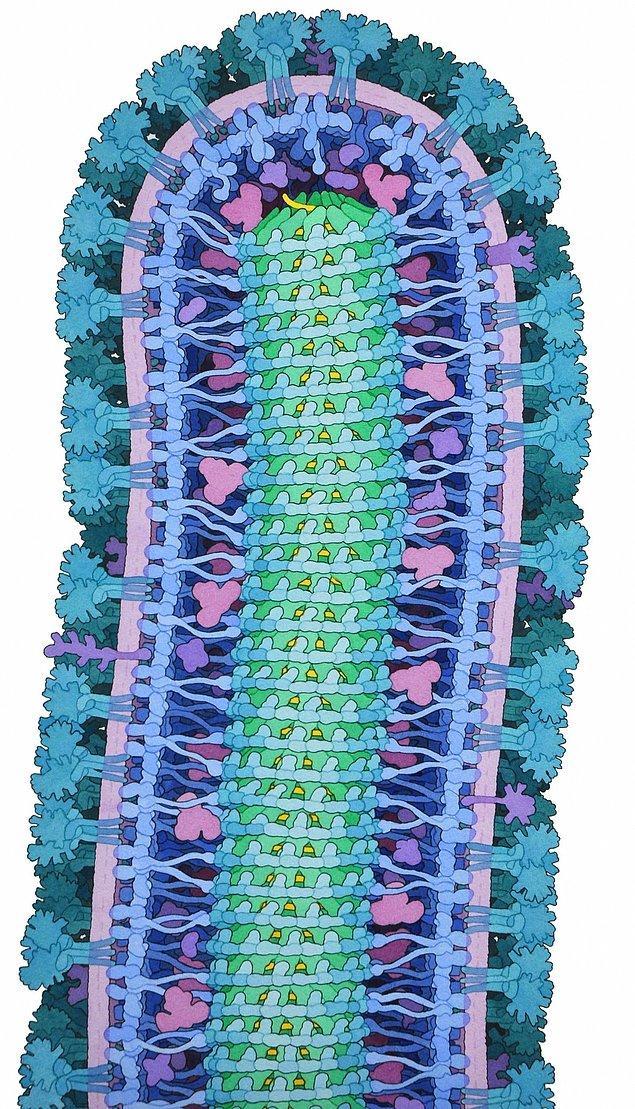 1. Yarışma Birincisi - Ebola Virüsü