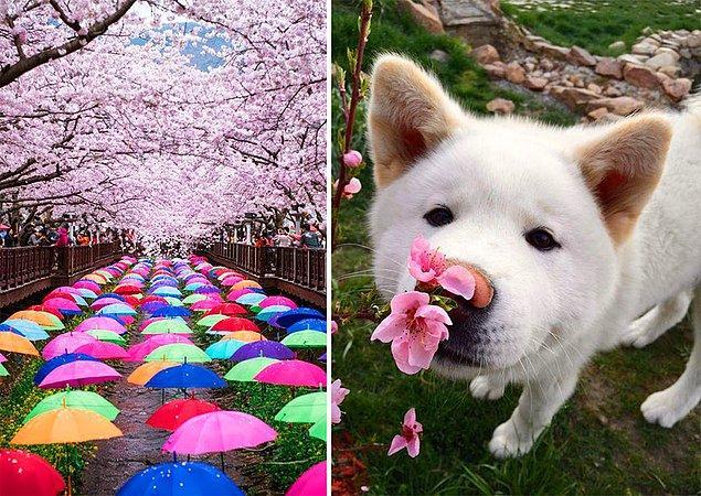 9. Kiraz çiçeği