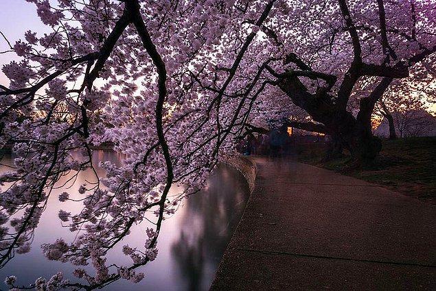 13. Kiraz ağacı tüneli