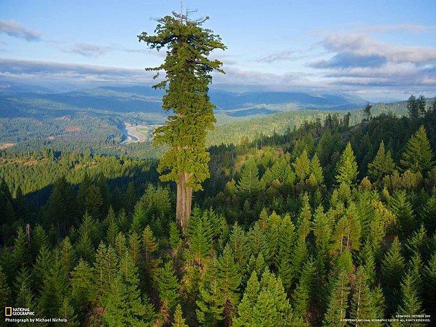 15. Dünyanın en uzun ağacı Hyperion.