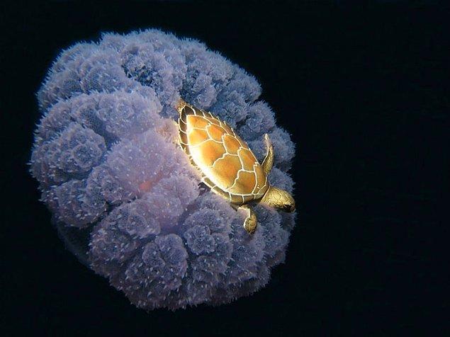 18. Denizanasının sırtına binmiş yolculuğu bedavaya getiren bir kaplumbağa. 😊🐢