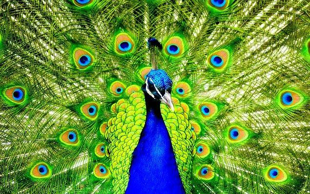 25. Tavus Kuşu