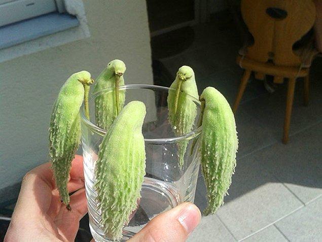 3. İpek otunun tohum zarfları böyle bakınca bardaktan pipetle su içmeye çalışan muhabbet kuşlarına benziyor