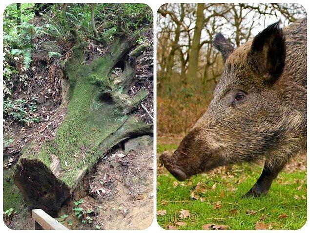 9. Ağaç değil resmen yaban domuzu