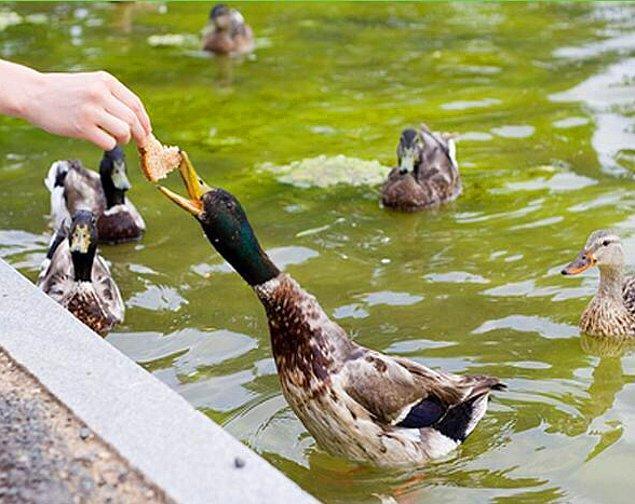 4. Ekmek, ördeklerde pek çok sağlık sorununa sebep oluyor.