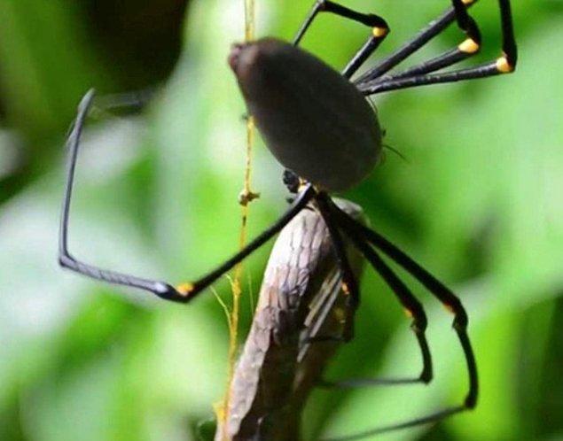 27. Avustralya'da yaşayan bazı örümcek türleri, yılanları yiyebilecek kadar büyük.