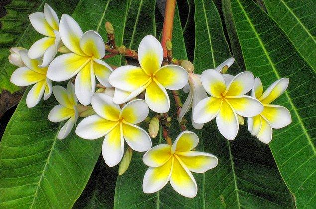 2. Adını aldıkları çiçek kadar güzel, faydalı ve etkileyici kokarlar.