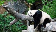 Şapşallıklarıyla Bizleri Her Defasında Kendilerine Hayran Bırakan 33 Panda