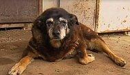 Dünyanın En Yaşlı Köpeği 'Maggie' Aramızdan Ayrıldı