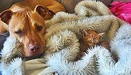Onları Yanlış Tanımışız: Bir Kediyi Yavrusu Gibi Seven Pitbullun Öyküsünden 11 Fotoğraf!