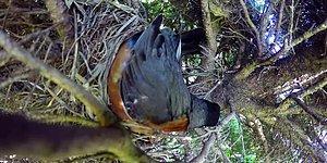 Змея ворует яйца из птичьего гнезда